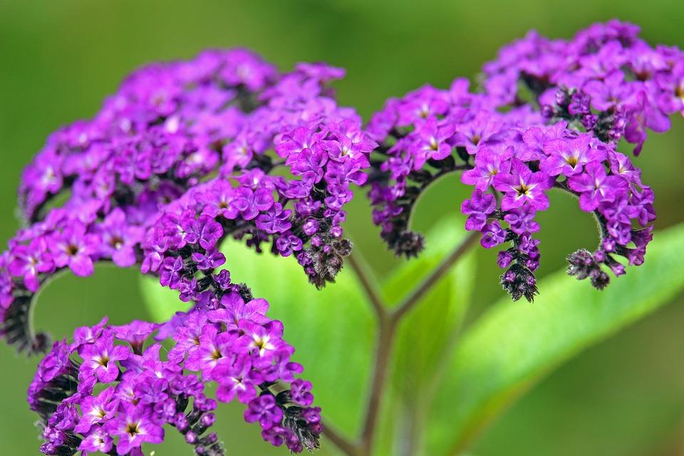 Vanilla Flower, Container Plant, Fragrance, Garden