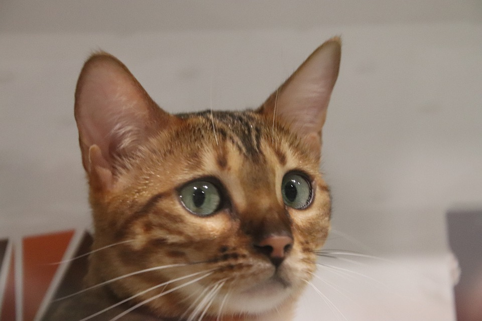 Cats, Felines, Abyssinian Cat, Pedigree, Contest