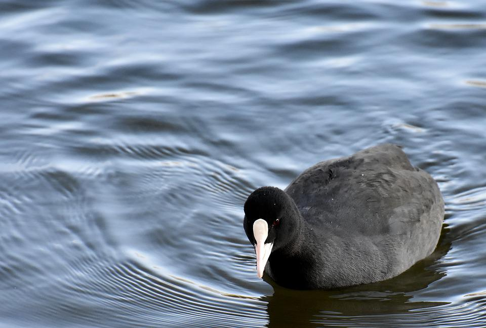 Coot, Animal, Wildlife Photography, Animal World