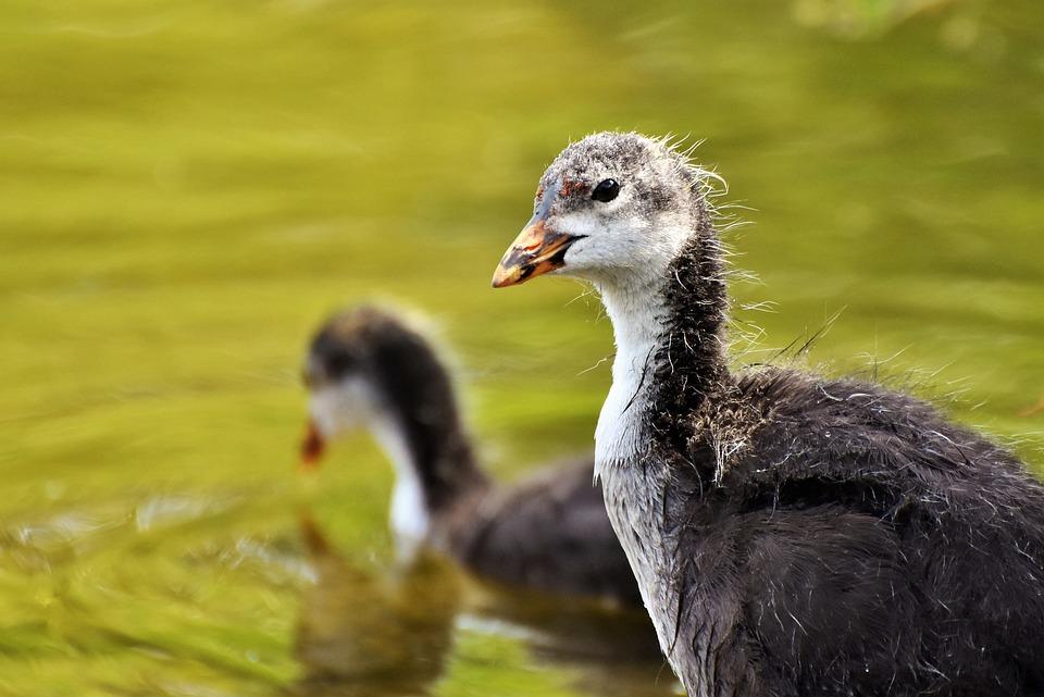 Coot, Duck, Chicks, Water Bird, Bird, Young Animal