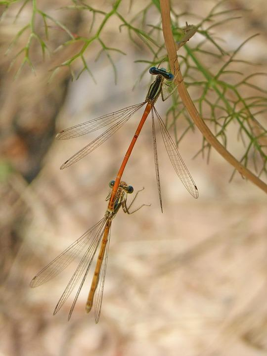 Dragonflies Mating, Dragonflies, Copulation