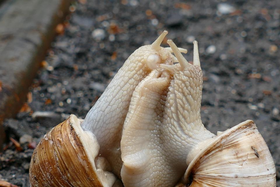 Snail, Copulation, Pairing, Shell, Mollusk