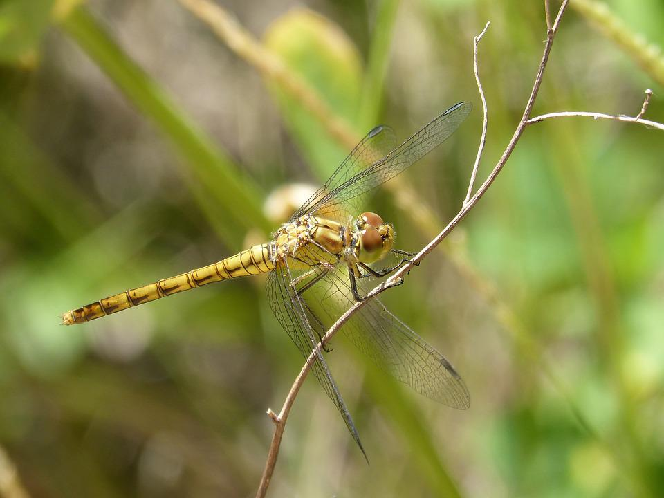 Dragonfly, Yellow Dragonfly, Cordulegaster Boltonii