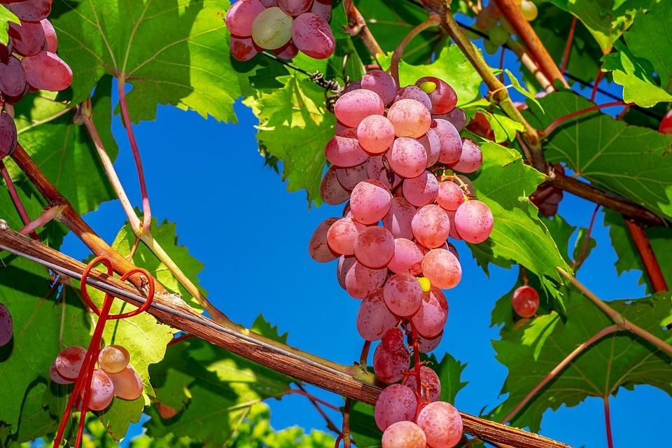 Grapes, Core-less Precious Table Grapes, Fruit, Fruits
