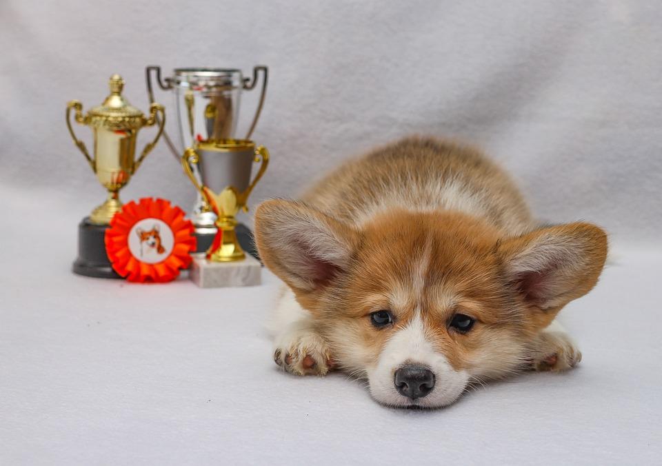 Welsh Corgi Pembroke, Sight, Corgi, Dog, Puppy, Pet