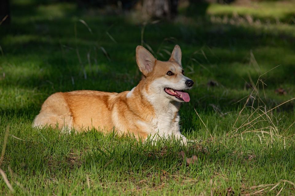 Welsh Corgi Pembroke, Corgi, Dog, Pet, Animal, Cute