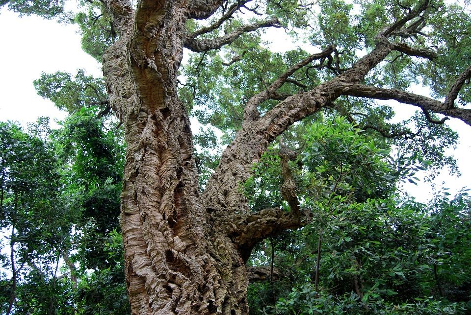 Cork, Cork Oak, Tree