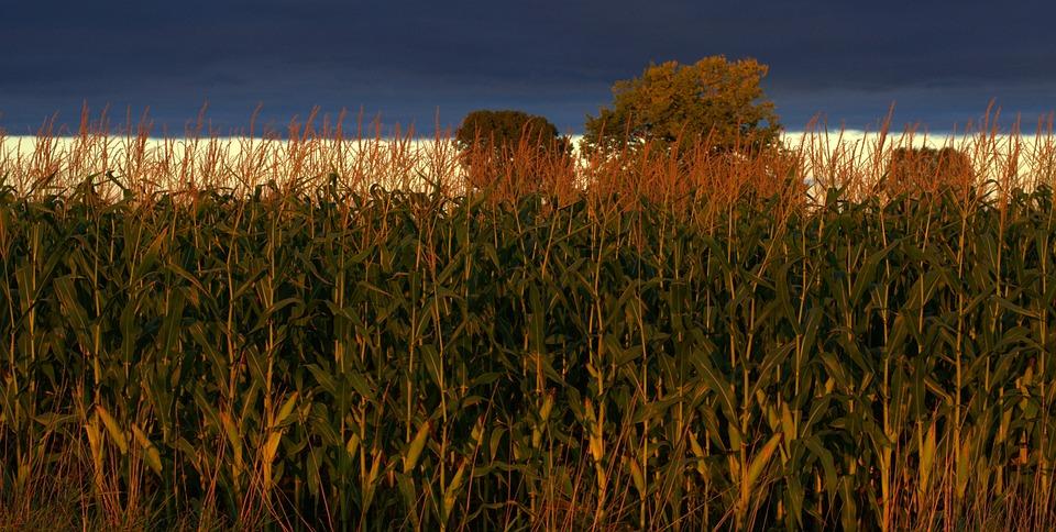 Indiana, Corn, Agriculture, Farm, Field, Rural, Sky