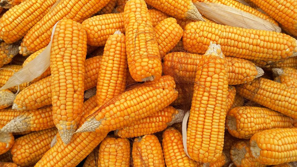 Corn, Food, Organic, Healthy, Agriculture