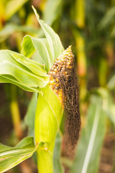 Corn, Vegetable, Agriculture, Macro, Cob