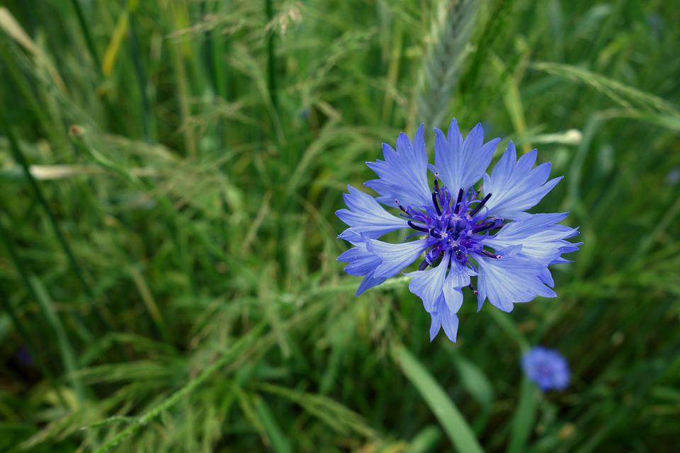 Cornflowers, Flower, Blue, Corn, Nature, Flowers