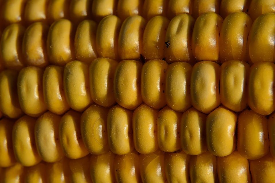 Macro, Corn On The Cob, Corn, Food, Field, Autumn