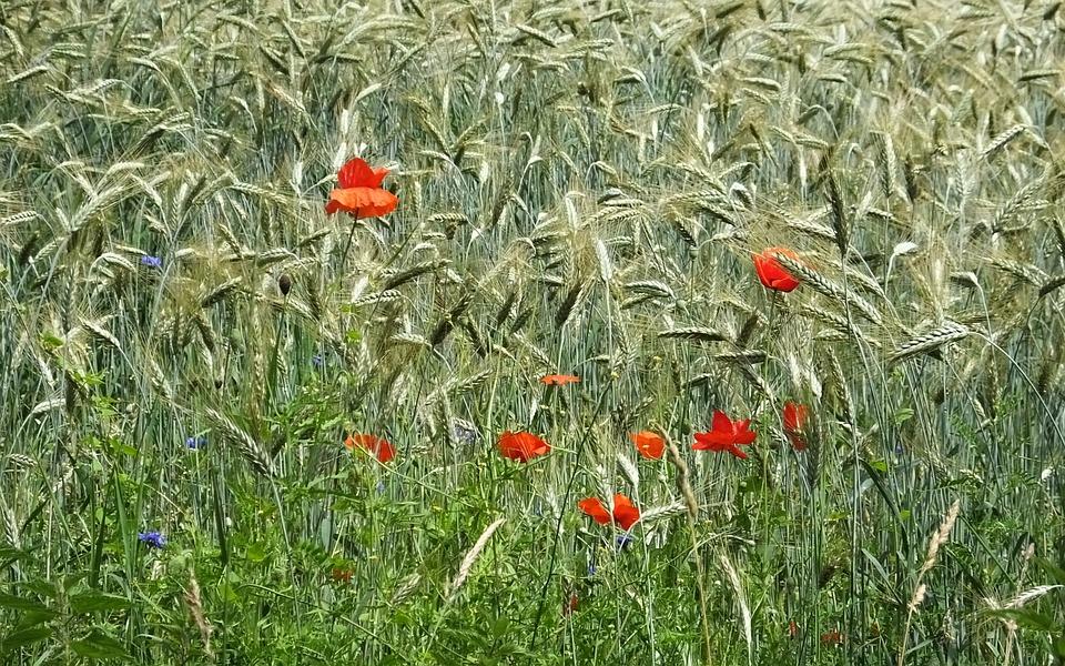 Barley, Corn, Klaprooos