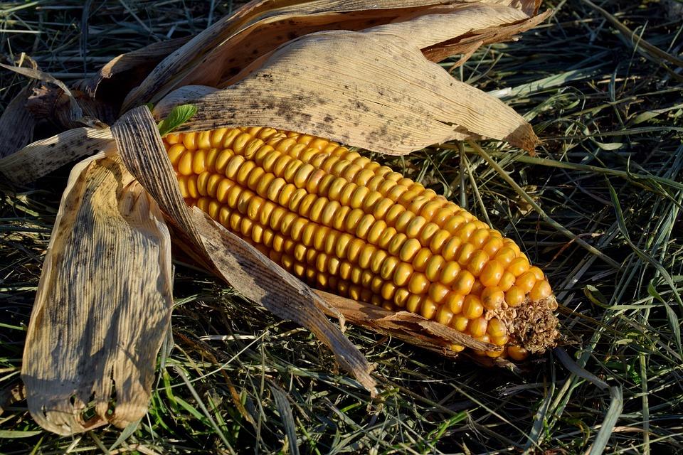 Corn On The Cob, Corn, Food, Field, Autumn, Nature