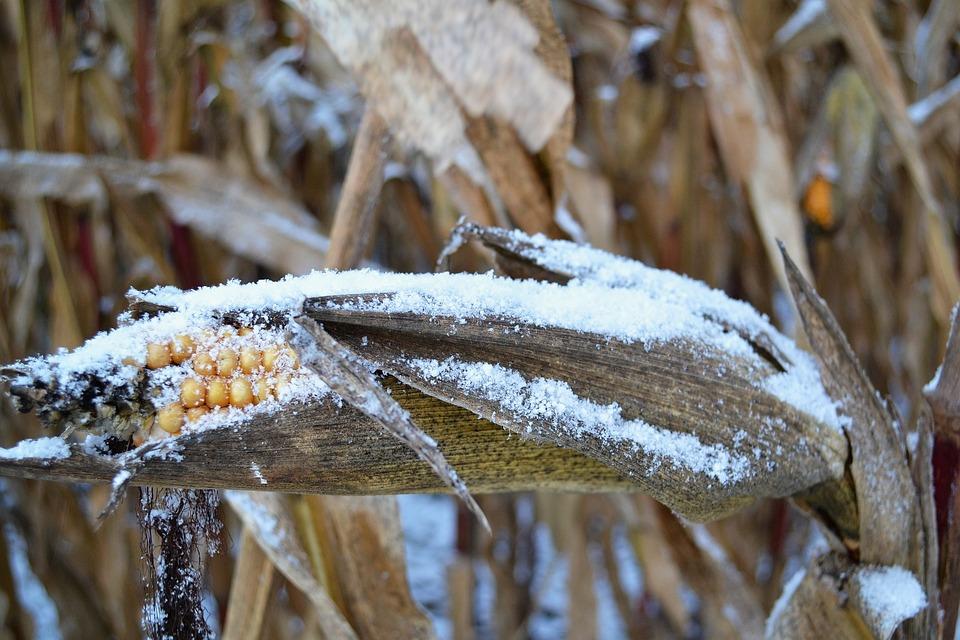 Corn On The Cob, Snow, Corn, Winter, Frozen