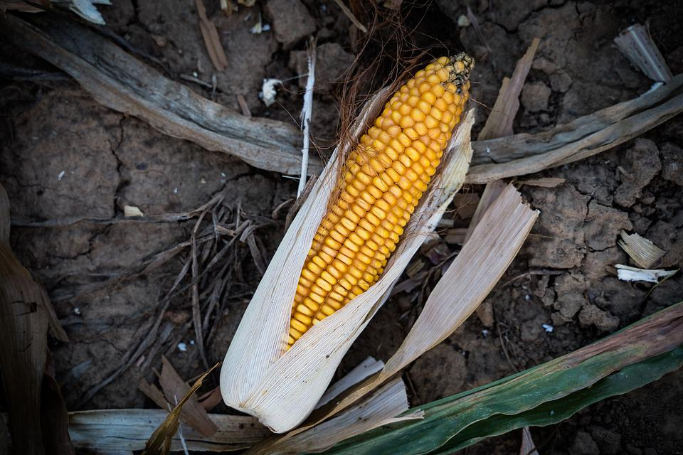 Corn, Corn On The Cob, Ripe, Yellow, Food, Harvest