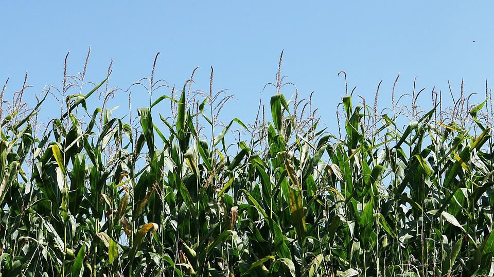 Corn, Herb, Culture, Fields, Field, Agriculture, Sky