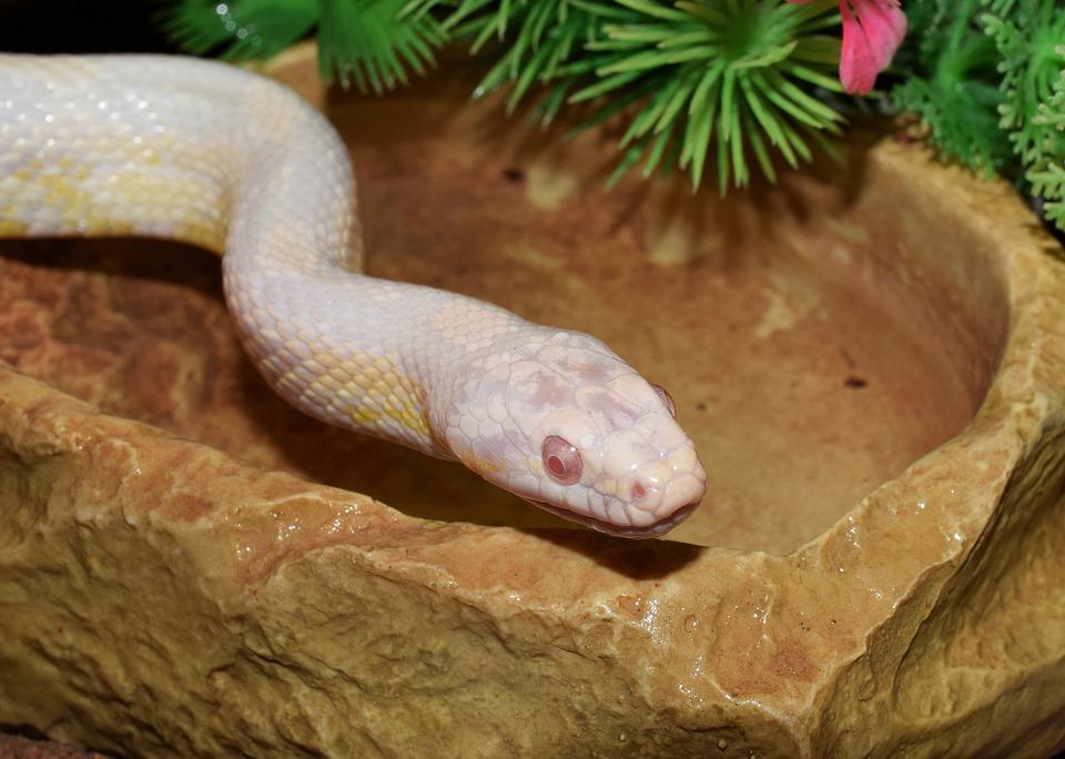 Corn Snake, Constrictor, Terraristik, Snake, Non Toxic