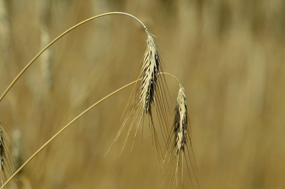 Barley, Cereals, Spike, Corn Stalks, Yellow, Cornfield