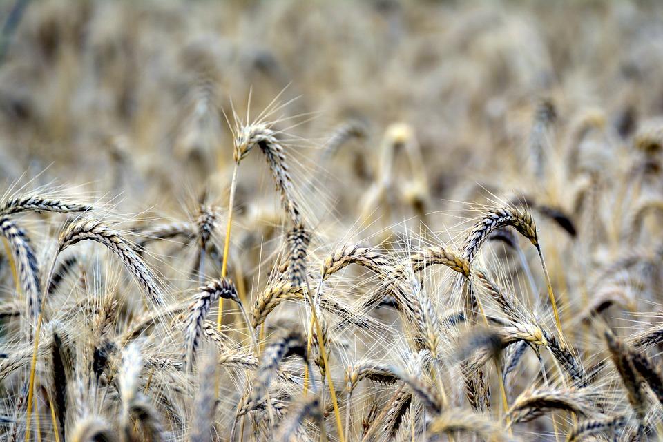 Cereals, Rye, Spike, Corn Stalks, Cornfield