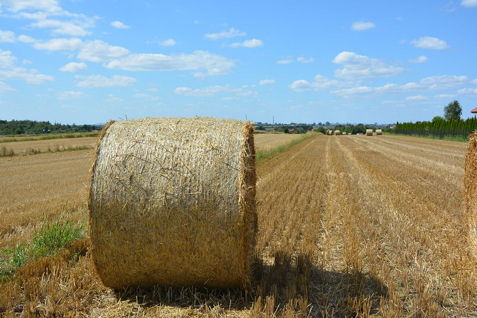 Harvest, Corn, Straw, August, The Cultivation Of