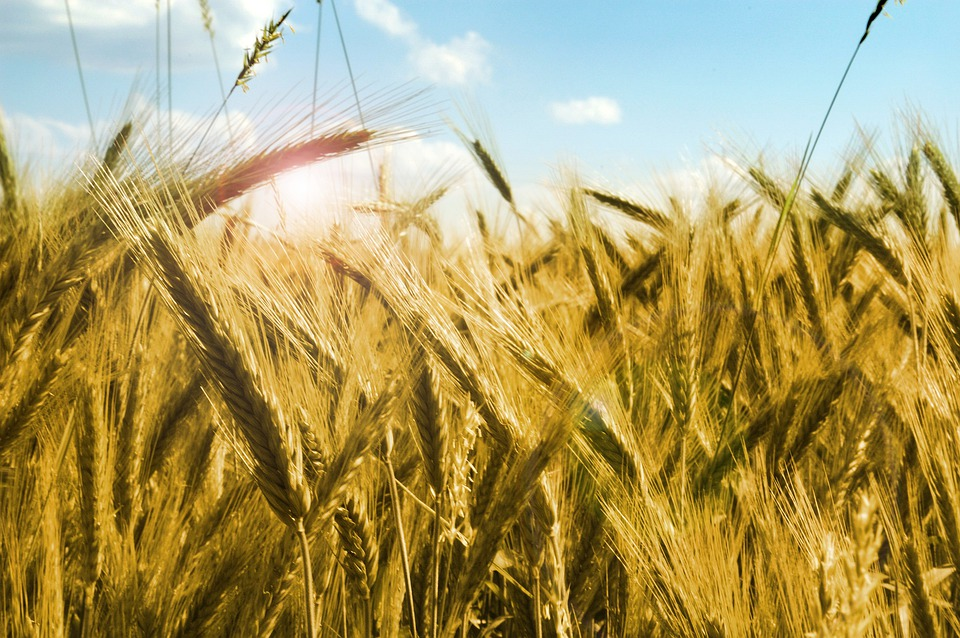 Corn, Rye, Kłos, Grains, Harvest, The Stem, Straw