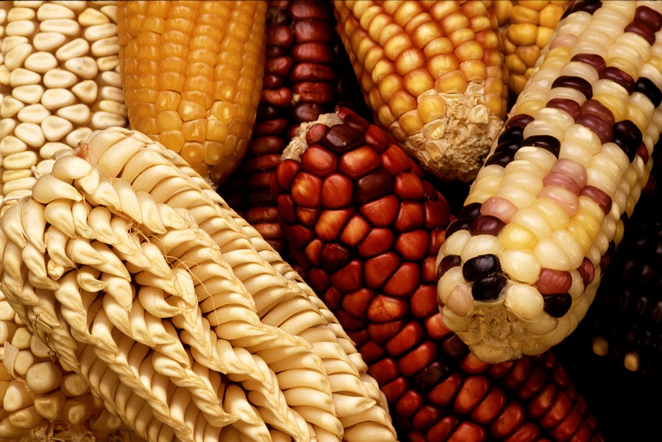 Corn, Corn On The Cob, Harvest, Vegetables, Strength