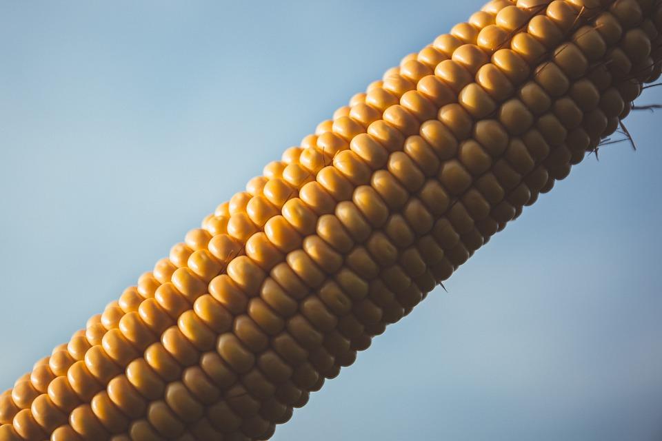 Close-up, Cob, Color, Corn, Corn Cob, Food, Yellow