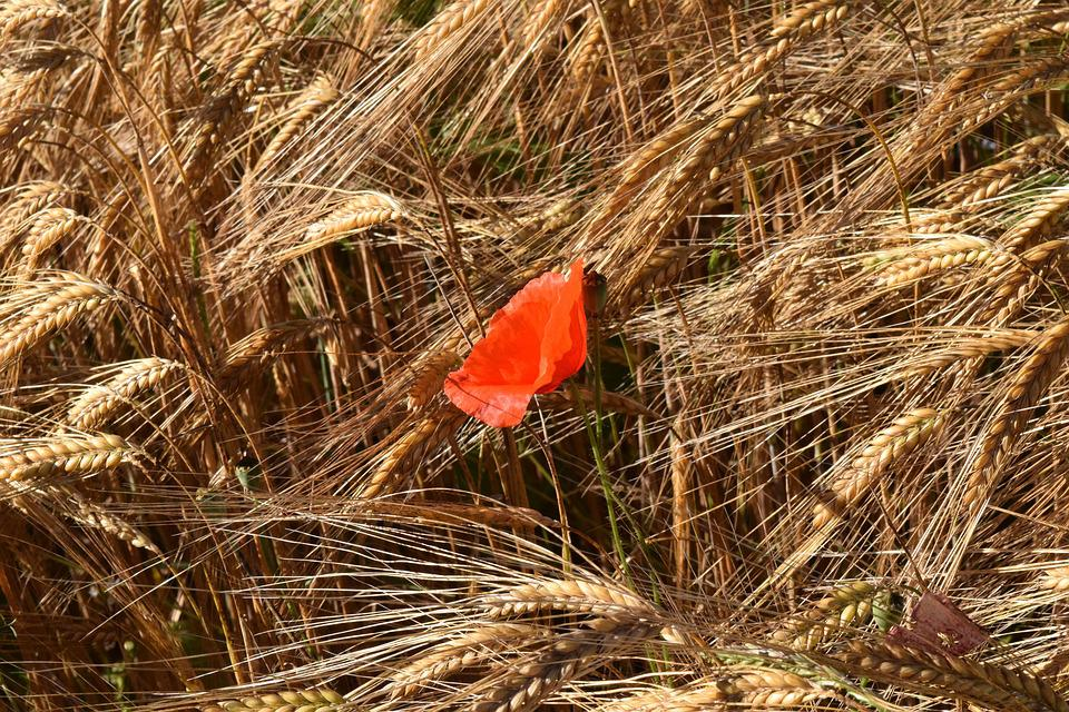 Poppy, Cornfield, Barley, Barley Field, Red, Cereals