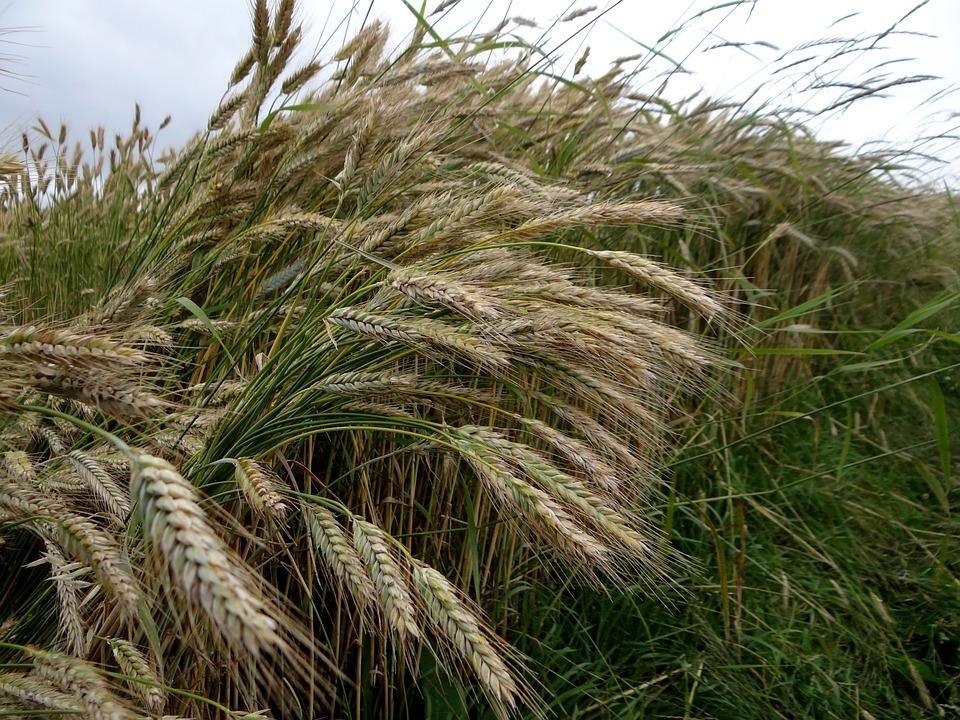 Rye, Cereals, Ear, Cornfield, Nourishing Rye
