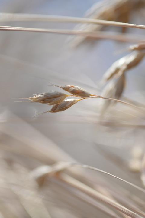 Grain, Cereals, Cornfield, Spike, Field, Harvest
