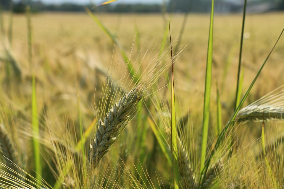 Cornfield, Grain, Cereals, Agriculture, Field, Nature