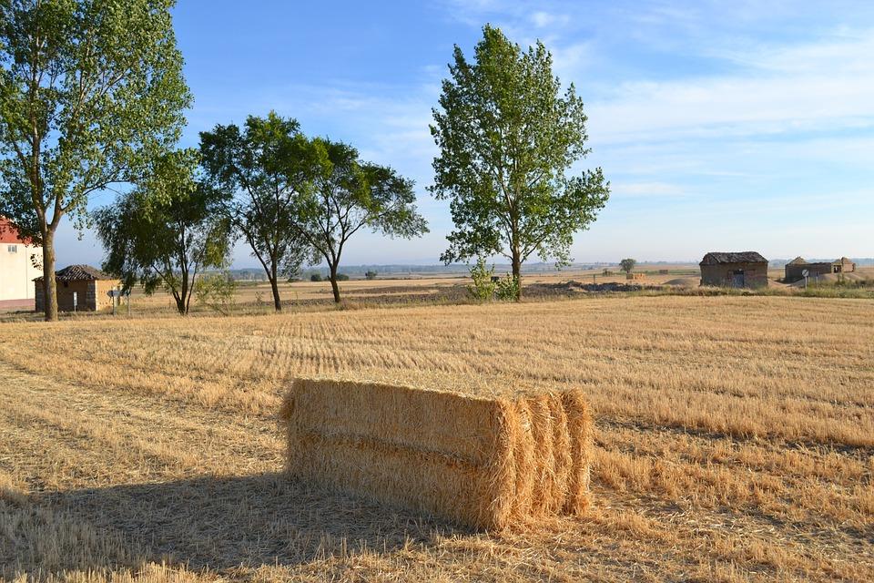 Tamara, Fields, Palencia, Cornfield