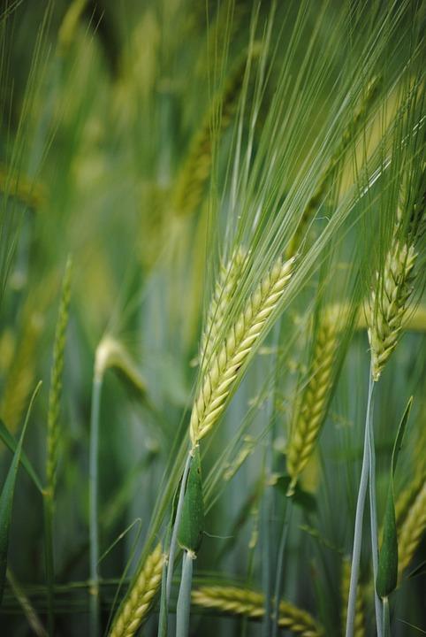 Ear, Cornfield, Grain Of Wheat