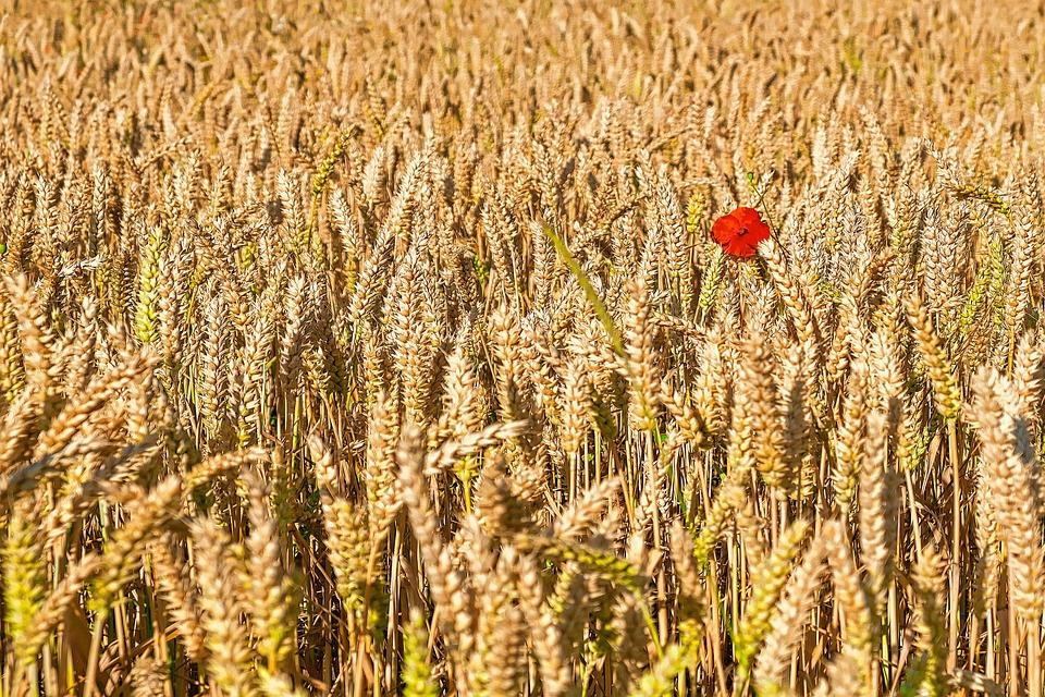 Poppy, Cornfield, Klatschmohn, Grain, Nature, Wheat