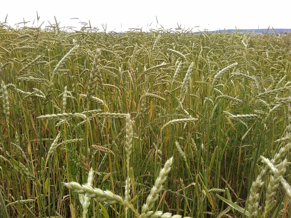 Spelt, Cornfield, Organic Grains