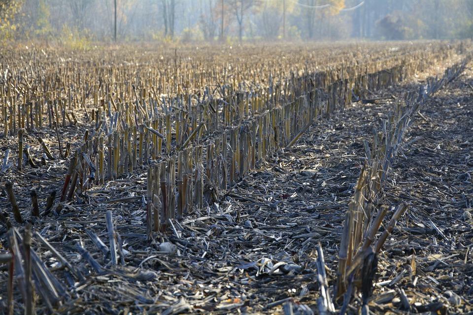 Cornfield, Autumn, Stubble, Harvested, Agriculture