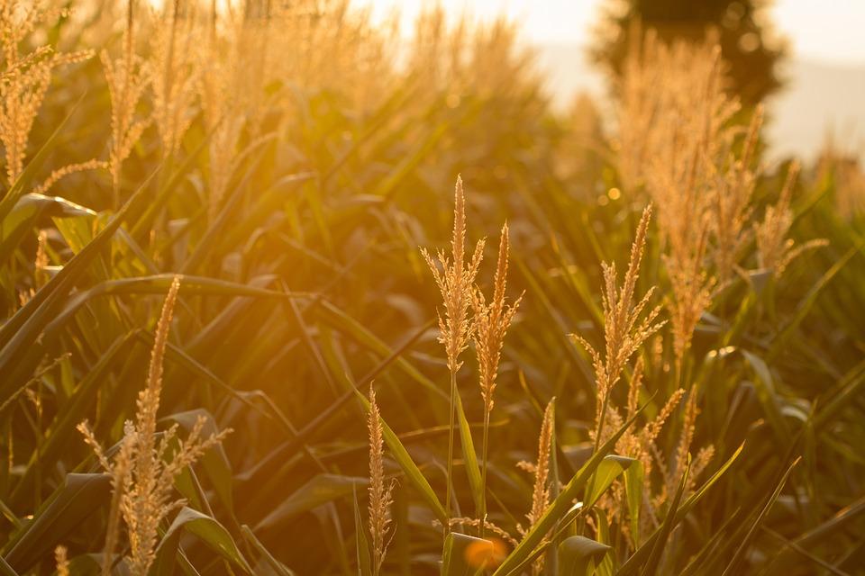 Cereals, Cornfield, Landscape, Summer, Spike, Arable