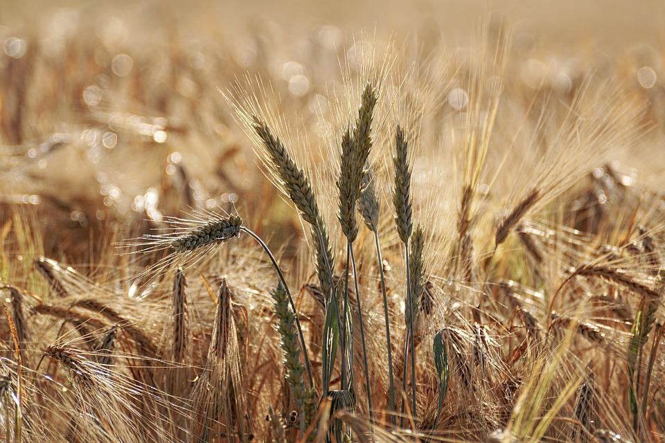 Wheat Field, Grain, Agriculture, Cornfield, Spike