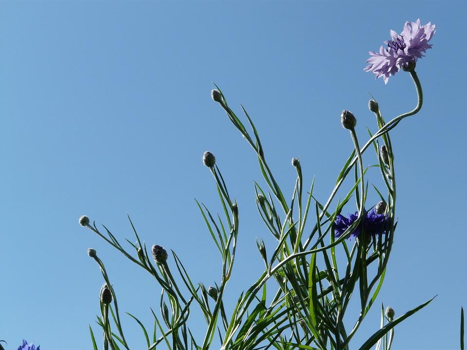 Cornflower, Blue, Pink, Light Pink, Flower, Blossom