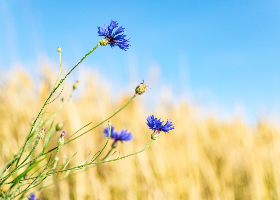 Cornflower, Wild Flower, Flower Meadow, Blossom, Bloom