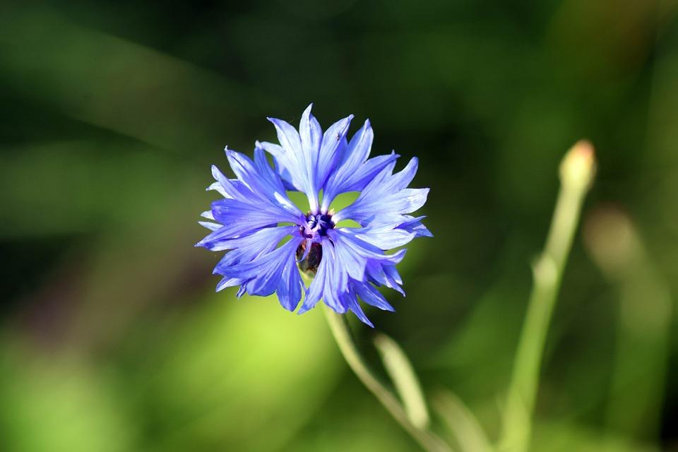 Cornflower, Close, Blue