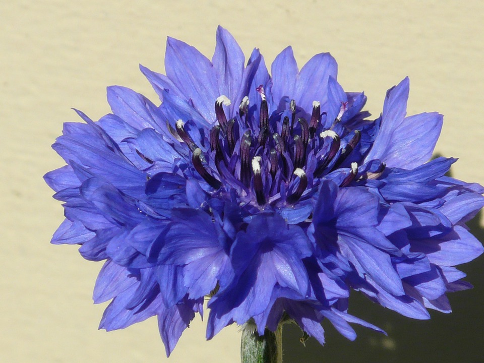 Knapweed, Cornflower, Blue, Flower, Blossom, Bloom