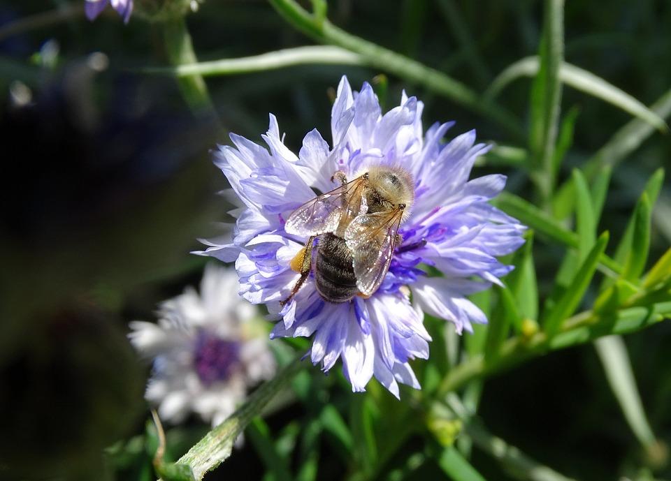 Blue Flower, Italicum, Blue, Cornflower, Flower, Summer
