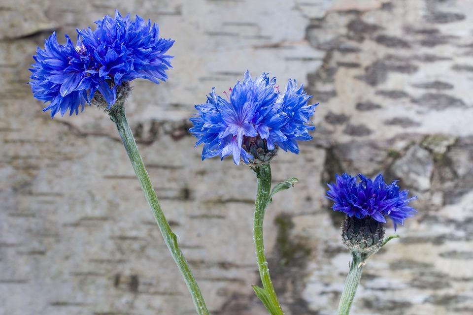 Cornflower, Flower, Blue, Wild Flower