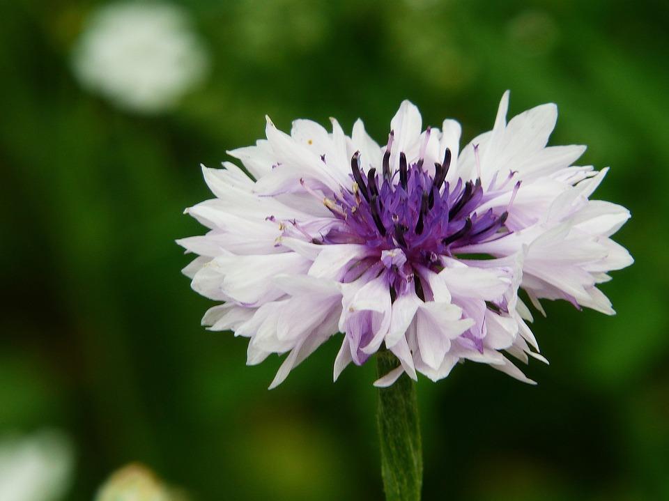 Cornflower, Flower Meadow, Mutation, White, Purple