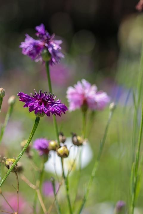 Cornflower, Flower, Purple Flower, Petals