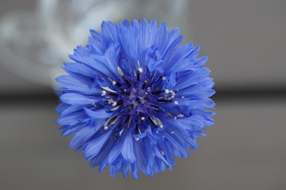 Cornflower, Blue, Flower, Blossom, Bloom, Summer