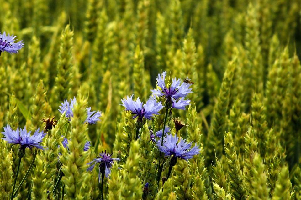 Cornflower, Cereals, Summer