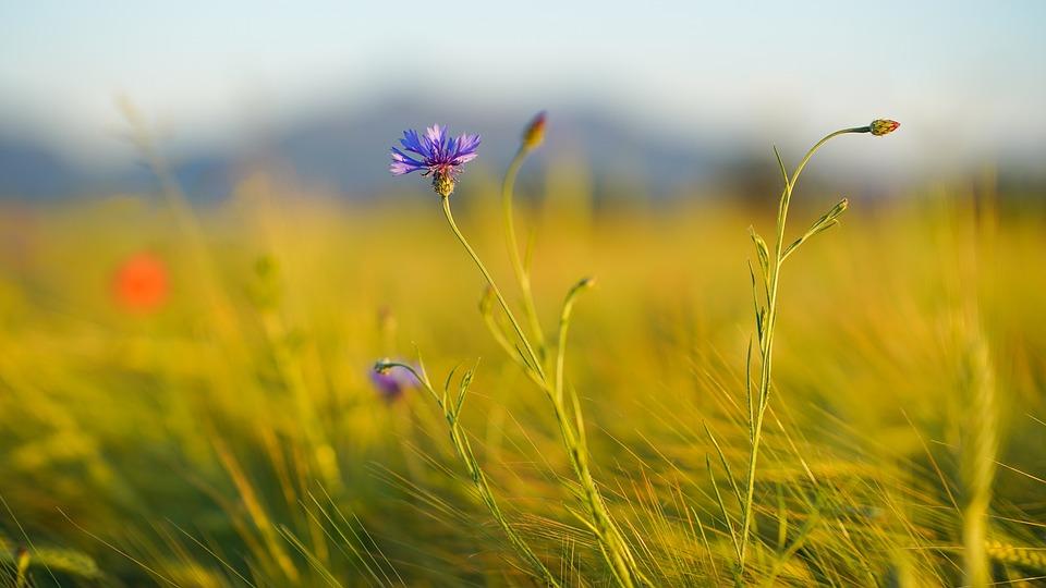 Cornflower, Field, Wheat Field, Meadow, Landscape